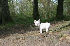 Darwin (dzikusiak) Tags: dog puppy french darwin bulldog francais bouledogue