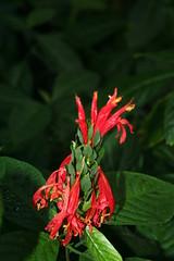 IMG_4738 (mhaw) Tags: flowers flower garden washingtondc dc botanicalgarden natio nationalbotanicalgarden
