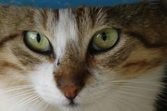 DSC08583 (angy84) Tags: sea italy green cat eyes chat italia mare liguria vert yeux occhi sguardo gato cinqueterre gatto italie micio chaton verdi laspezia 5terre