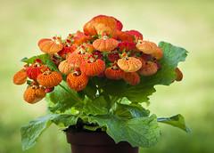 Calceolaria. (RosanaCalvo) Tags: calceolaria flores invierno jardín naranja pintas planta