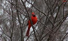 Northern Cardinal Male (Subhashini Siva) Tags: northern cardinal male baltimore maryland backyard angrybird birds