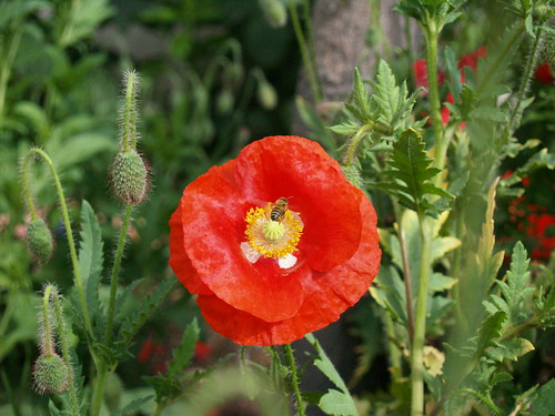 Bees loving poppies
