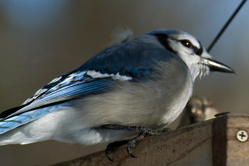 feeder bluejay 4