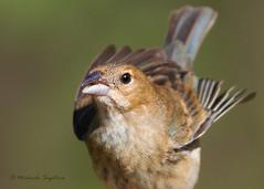 _53F8641 Indigo Bunting (female) (~ Michaela Sagatova ~) Tags: bird nature fauna dundas indigobunting passerinacyanea birdphotography dvca michaelasagatova