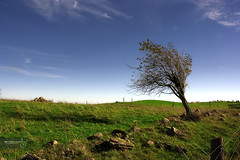 Windswept Tree (Rock Steady Images) Tags: blue sky ontario canada tree fall field grass clouds canon landscape eos 350d rebel xt rocks hiking stones windswept 200views faves 50views brucetrail naturesfinest 25views honeywood sigma1770mmf2845dcmacro superhearts lenssigmadc1770mm 7pointsystem brucetailmap21 bypaulchambers rocksteadyimages