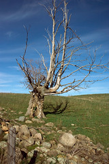 Knarley Old Tree (Rock Steady Images) Tags: blue sky ontario canada tree field rock clouds canon fence landscape eos 350d rebel xt stones brucetrail honeywood sigma1770mmf2845dcmacro lenssigmadc1770mm 7pointsystem bypaulchambers rocksteadyimages