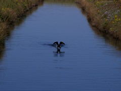 S.31 - Cormorant on the water (leardca) Tags: water cormorant pei eastlake