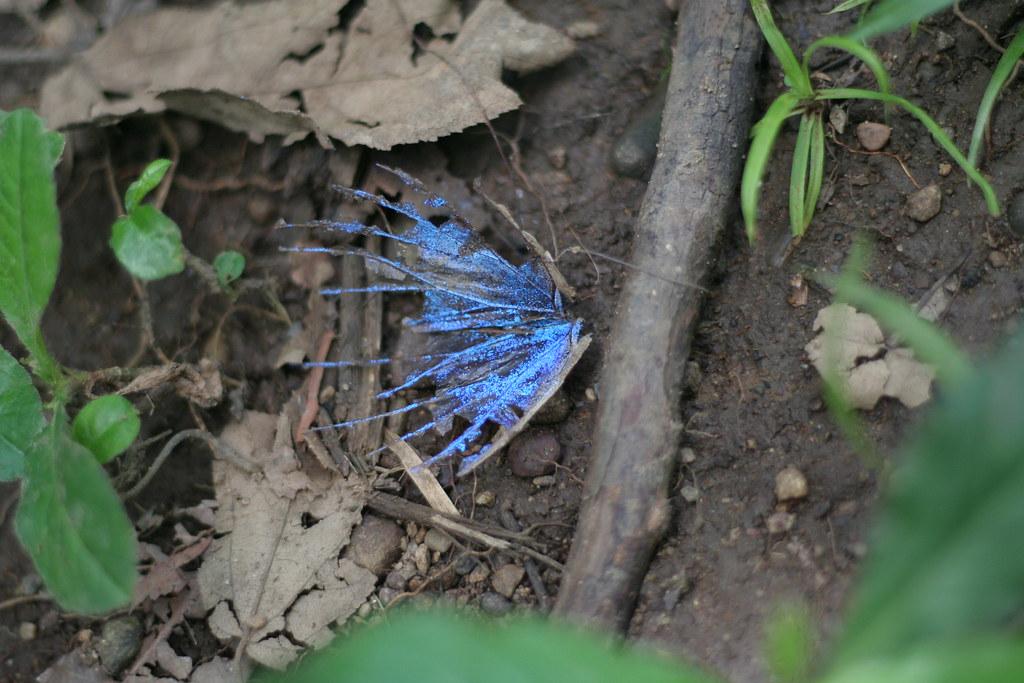 blue morpheus wing