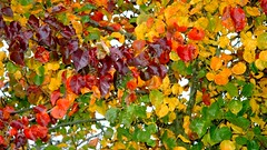 couleurs d'automne / autumn colours (OliBac) Tags: autumn red orange green fall nature leaves yellow jaune automne rouge colorful vert feuilles blueribbonwinner flickrsbest passionphotography olibac colorphotoaward impressedbeauty firsttheearth
