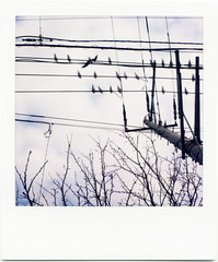 electric wires, cherry blossoms tree, seagulls and the sky (masaaki miyara) Tags: winter sky japan clouds polaroid design photo graphic line  cherryblossom yokohama      landcamera    argylestreettearoom masaakimiyara