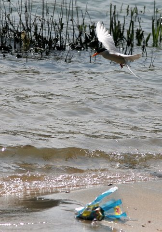 kaveri,river tern and plastic 161207
