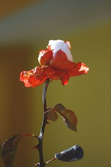 Ice Rose (Nicola Mastronardi) Tags: snow cold flower macro ice rose canon eos photo foto nicola rosa sigma apo neve fotografia fiore freddo ghiaccio 70300 rebl xti 400d rebelxti mastronardi nicolamastronardi