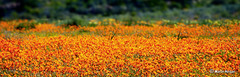 Namaqualand Wild Flowers (Martin_Heigan) Tags: camera flowers orange flower nature daisies digital landscape southafrica flora nikon dof close desert martin d70 bokeh pano wide photograph fields wildflowers dslr skilpad blooming namaqualand northerncape suidafrika namakwaland 18200mmf3556gvr kamieskroon namaqua blomme nikonstunninggallery heigan anawesomeshot fiveflickrfavs 7august2007 mhsetnamaqualand mhsetlandscapes mhsetuntouched mhsetbokeh mhsetflowers