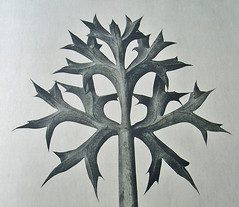 Nature's Art (algo) Tags: nature closeup photography leaf eryngo williammorris umbelliferae blossfeldt 29faves goldenphotographer artformsinnature removedfrom10faves blossfeldtcopy