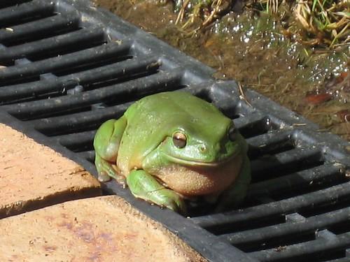 Frog at Cool Bananas