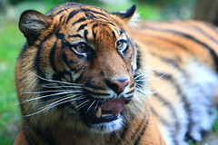 Sumatraanse tijger (Arie van Tilborg) Tags: fauna zoo rotterdam blijdorp dierentuin diergaarde tilborg arievantilborg