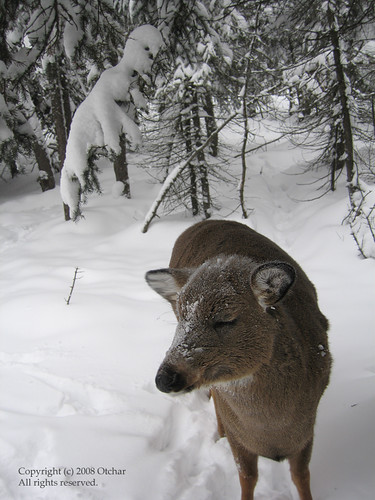 Deer in deep snow