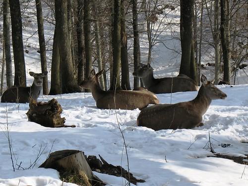 geyik - deer by pashazade.