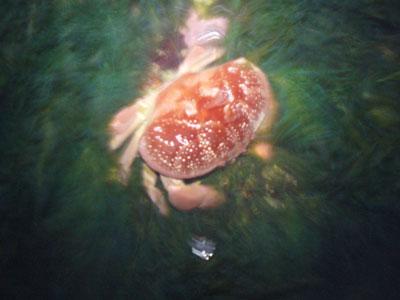 Crab-P1050646