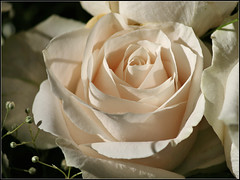 A White Rose (Dave Delay) Tags: rose whiterose bostonist johnboyleoreilly