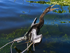 Anhinga (After 7 points) (Brad Balfour) Tags: bird nature feathers anhinga 7point 7pointsystem