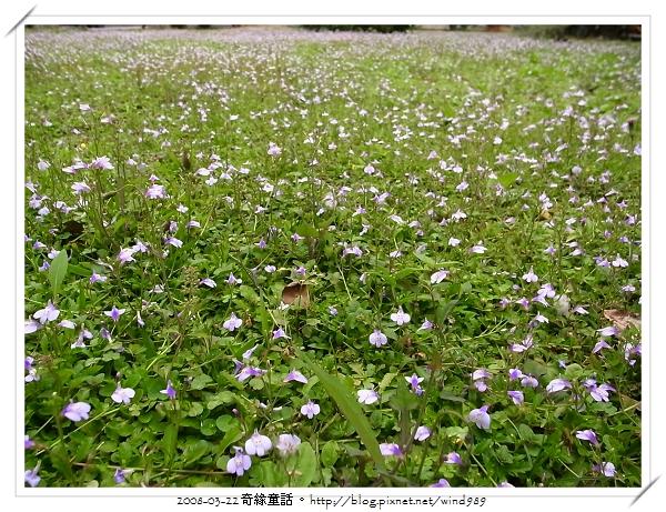 【城市】遍野的紫花田─通泉草