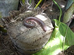 cien pies 247 (jvargas) Tags: macro nature fauna insect cienpies