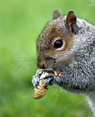 At last...foooooood...:O)))) (law_keven) Tags: england london nature animals furry squirrel kensingtonpark yourbestshot photoexel