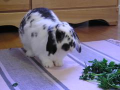 Fresh Veg and California Sun (hervioletsky) Tags: rabbit bunny rug marzipan parsley dresser lopear