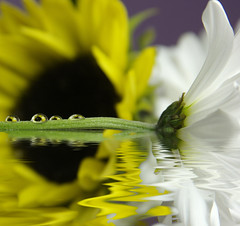 MINI SUNFLOWERS (jodi_tripp) Tags: white water yellow daisies stem purple sunflowers refractions firstquality joditripp challengeyouwinner wwwjoditrippcom photographybyjodtripp