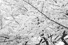 Sakura (Cherry Blossoms) Ueno Park, Tokyo Japan   (CharleyMarley) Tags: blackandwhite bw japan tokyo ueno   sakura cherryblossoms    hanami     japan2008
