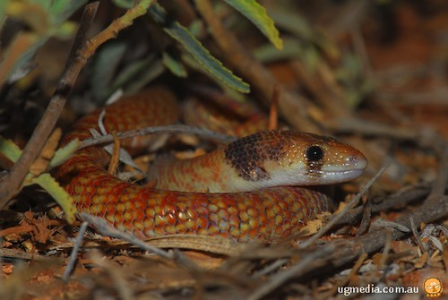 Western hooded scaly-foot (Pygopus nigriceps)