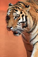 Siberiano (LRFarias) Tags: zoo tiger polarizer rebelxti ef14x ef70200f4lis