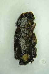 . (illinoisriverwatch) Tags: glossosomatidae saddlecase saddle caddisfly trichoptera