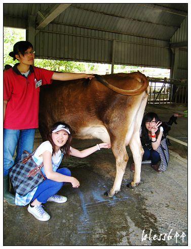 擠牛乳體驗