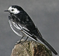 First Bird of the Year, Pied Wagtail