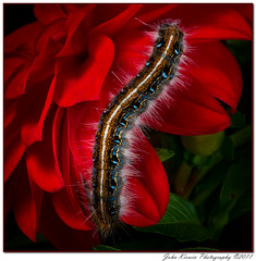 Caterpillar on Red Flower 2 (kirwinj) Tags: red flower alabama caterpillar johnkirwin mygearandme mygearandmepremium mygearandmebronze mygearandmesilver kirwinj belitecaterpillarsandlarvaeb