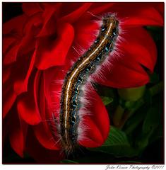 Caterpillar on Red Flower 2 (kirwinj) Tags: red flower alabama caterpillar johnkirwin mygearandme mygearandmepremium mygearandmebronze mygearandmesilver kirwinj ♥ي♥belitecaterpillarsandlarvaeb♥ي♥
