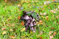 fungi1 (Sharnam) Tags: suttonpark pentax50mmf17