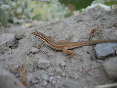 Lizard (kezwan) Tags: lizard kezwan