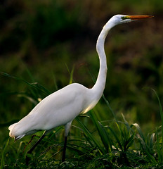 Beauty and Grace… (TIO...) Tags: egret avianexcellence lightstylus goodmorningtio