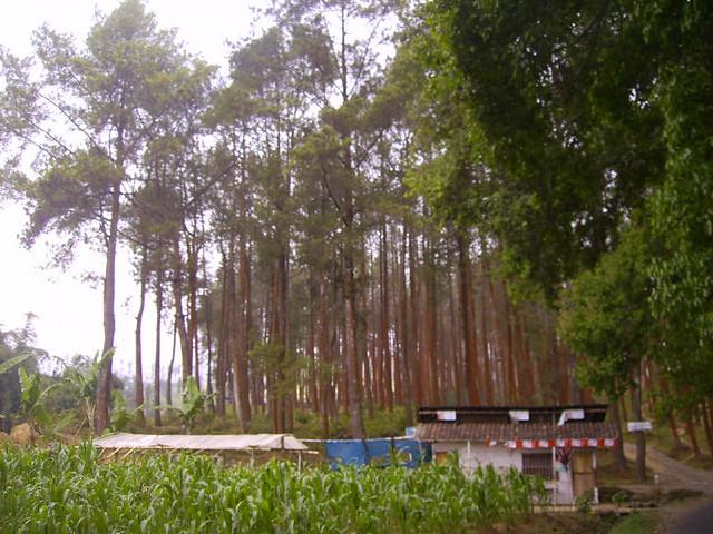 hutan pinus jumprit melambai-lambai