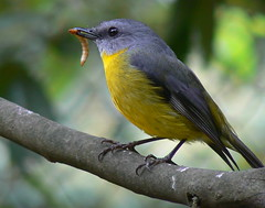 Eastern Yellow Robin (ianmichaelthomas) Tags: friends nature robin birds australia healesville victoria robins watcher smrgsbord easternyellowrobin australiannativebirds wildlifeofaustralia animalcraze firsttheearth avianexcellence birdsshowcase bestofbestnature worldofanimals auselite naturewatcher healesvillesanctaury flickrlovers vosplusbellesphotos