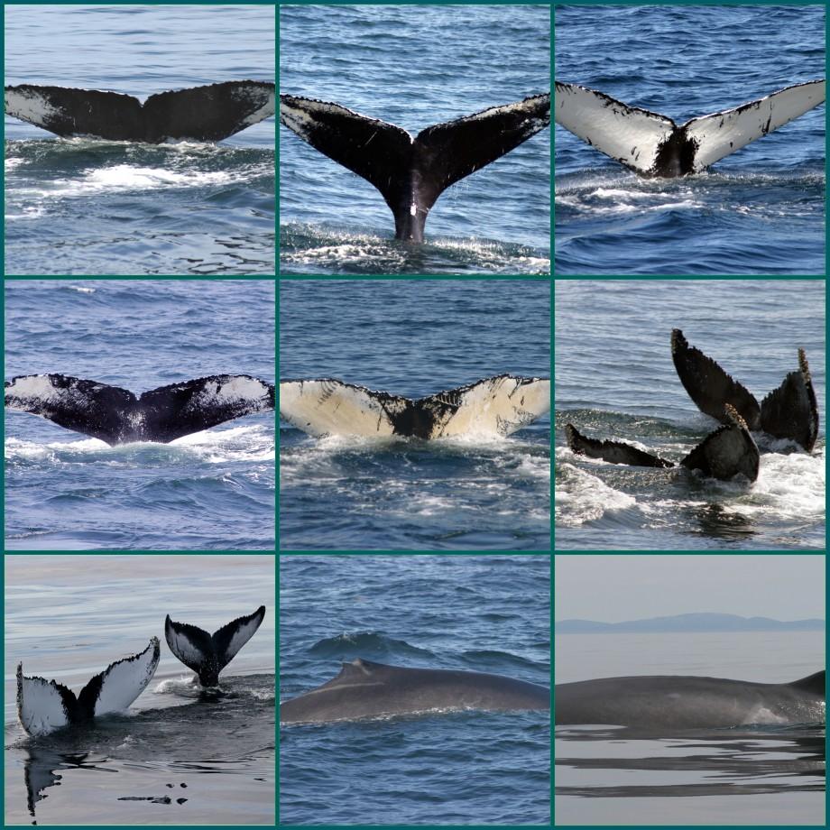 Humpback Whale Flukes Flickr