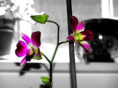 Flowers Bring Colour (mightyquinninwky) Tags: flowers blackandwhite bw colour window geotagged blackwhite dof orchids bokeh kentucky lexingtonkentucky pots jade stems buds bud picnik broomstick selectivecolor selectivecolour purpleandgreen purplegreen fontaineroad chevychasearea nearcampus fayettecountykentucky centralkentucky geo:lat=38028631 thebluegrassstate geo:lon=84488661