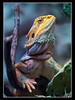 Bartagame (Bearded Dragon)