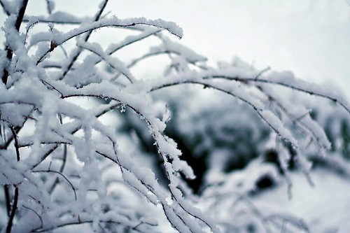 Reaching Out With Cold Fingers - snow on a bush in Stayton Oregon