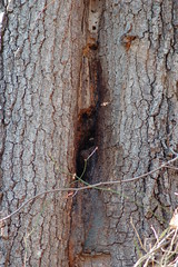 Wild bee hive entrance in tree trunk