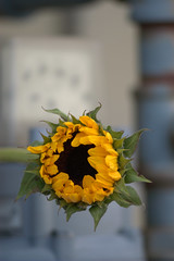 Sunflower (Matthew Boulanger) Tags: montana sunflower