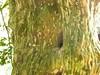 97.03.11竹山鎮番仔田烏土窟千年九芎樹王DSCN6002